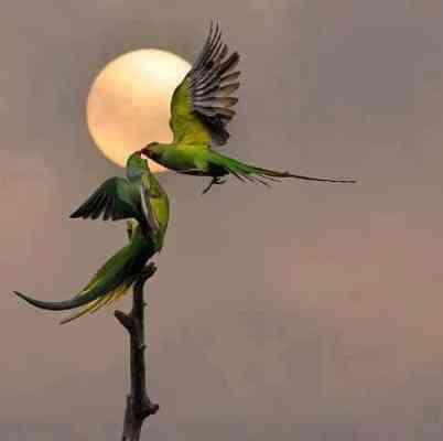 Milenec ptáka